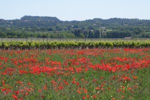 Provence poppy fields